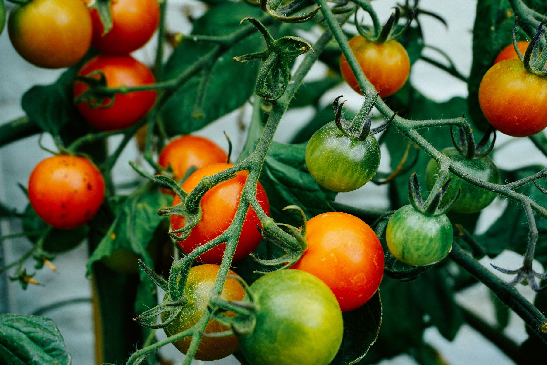 Plant your tomatoes